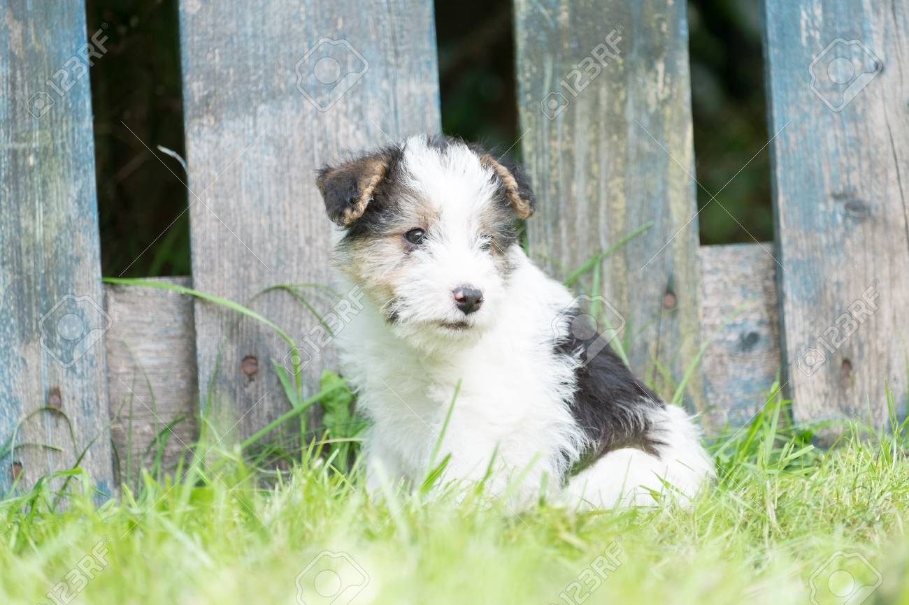 6 Week Old Tricolor Fox Terrier Puppy Playing Outside In The.. Stock ...