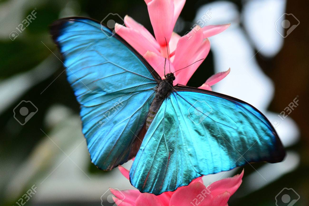 Bộ sưu tập cánh vẩy 6 - Page 5 48562744-pretty-morpho-amathonte-lands-on-a-pink-ginger-bloom-in-the-gardens