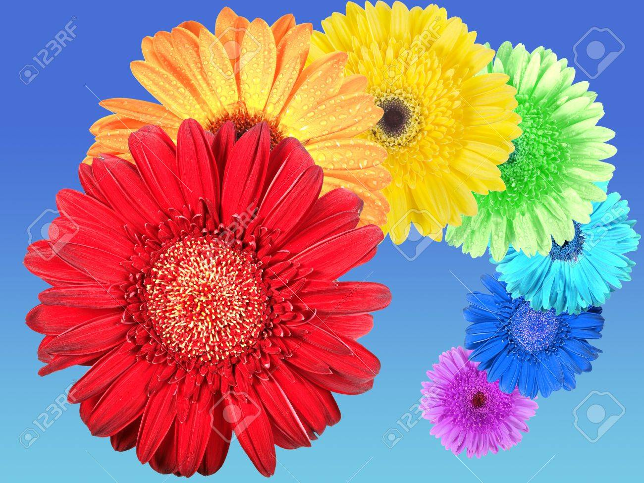 rainbow of flowers on bluesky background. closeup. stock photo, Natural flower