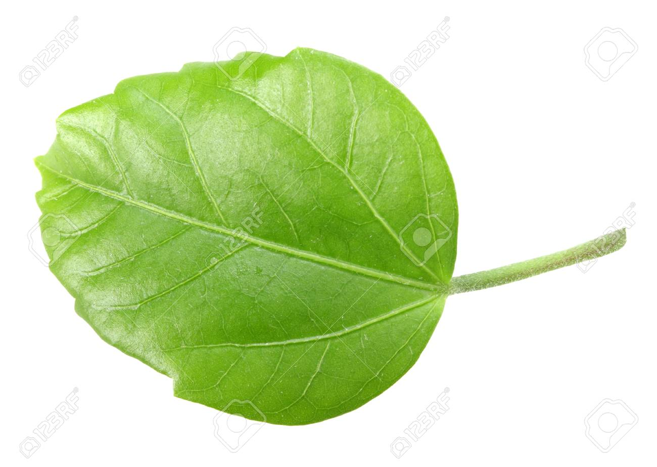 One green leaf isolated on white background. Close-up. Stock Photo - 7211894