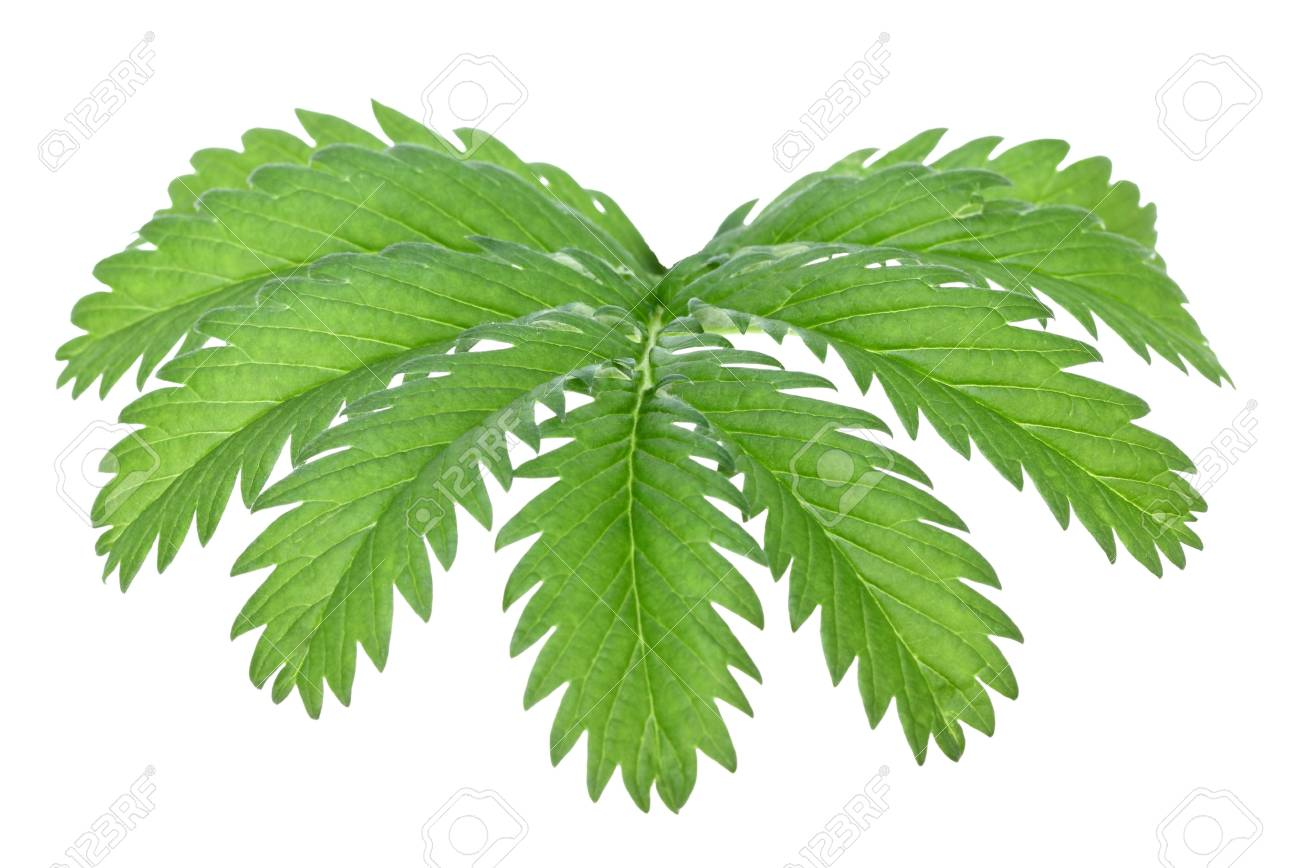 One green leaf isolated on white background. Close-up. Studio photography. Stock Photo - 7256852