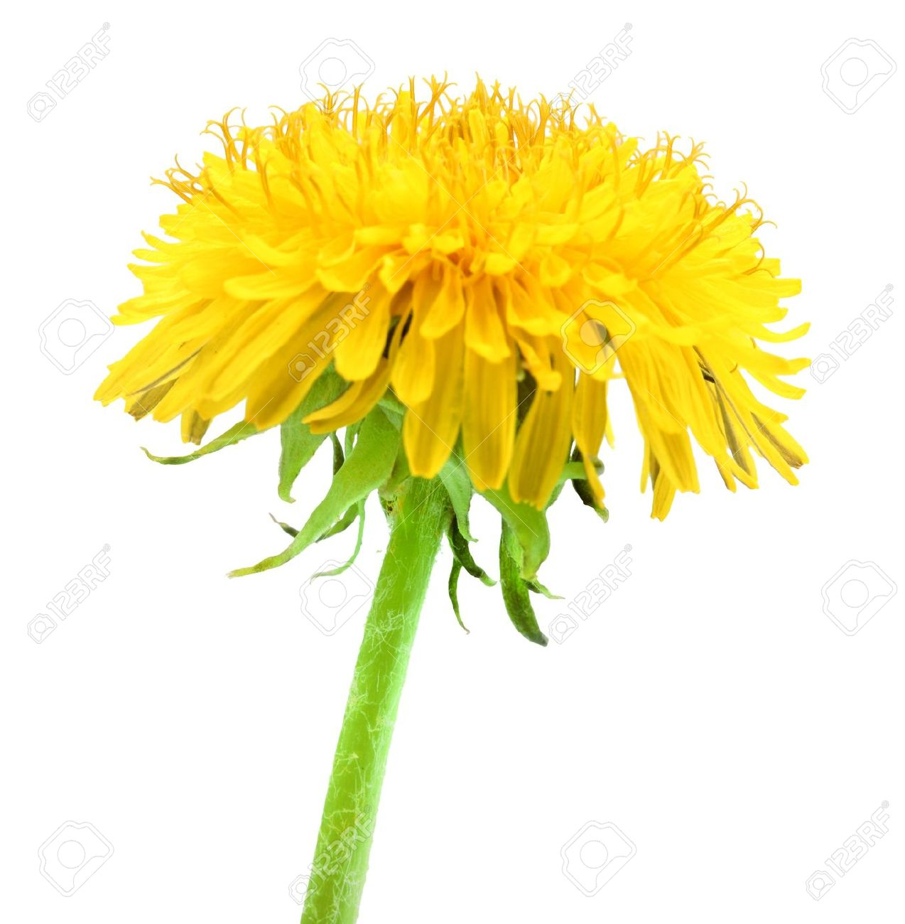 One yellow flower of dandelion isolated on white background. Close-up. Studio photography. Stock Photo - 10225275