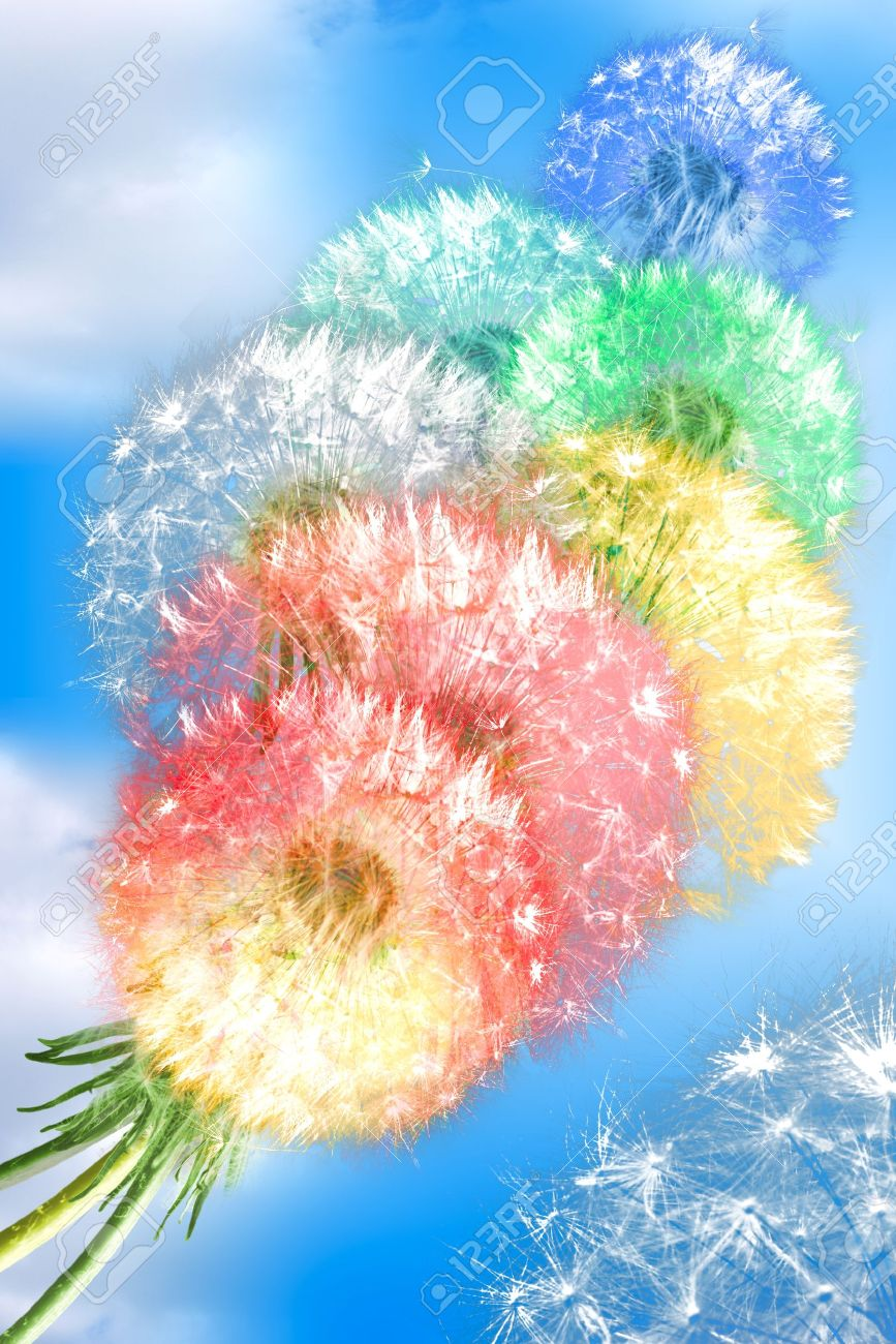 Group of color fluffy dandelion flowers on blue sky background as rainbow clouds. Close-up. Studio photography. Stock Photo - 13208675