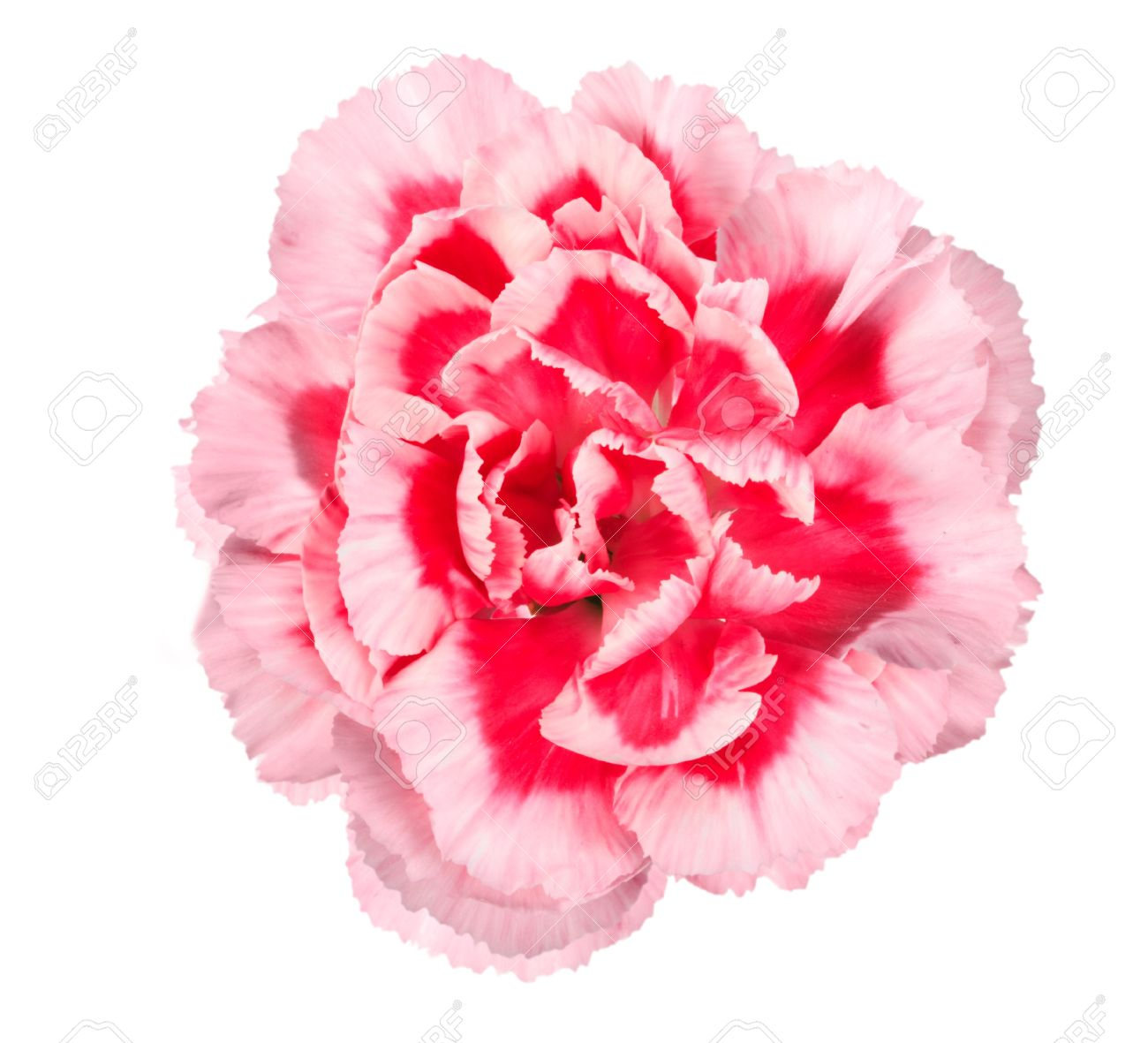 One A Pink Flower Of Carnation Close Up Isolated On White