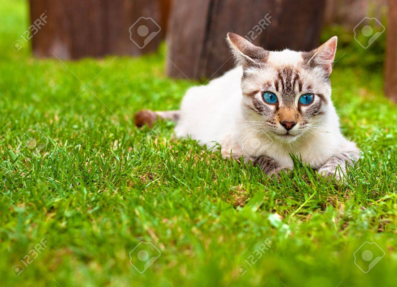 Very Cute Cat With Blue Eyes Laying In The Grass Stock