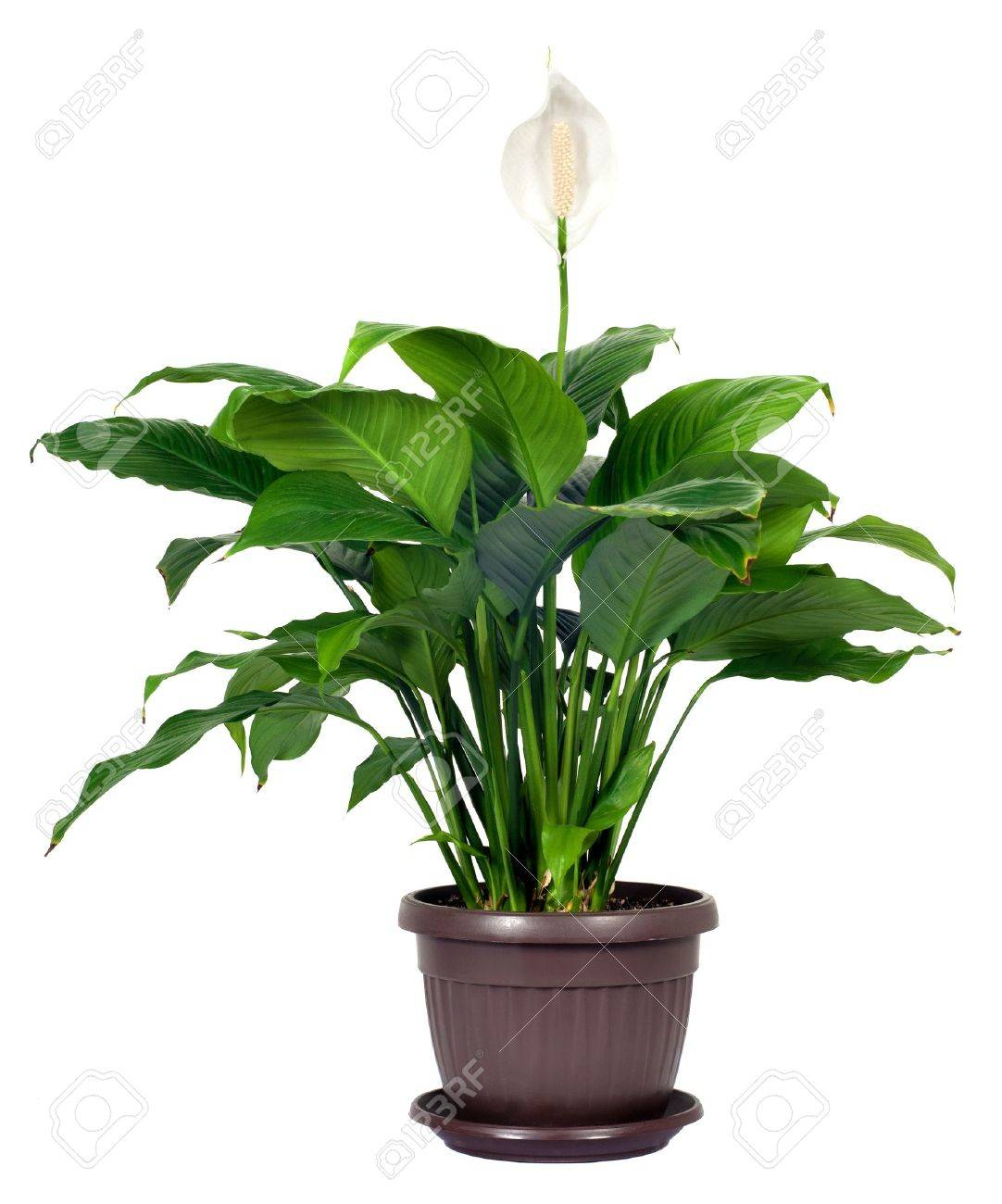 Houseplant spathiphyllum floribundum peace lily white flower houseplant spathiphyllum floribundum peace lily white flower isolated on white background stock photo 13292454 izmirmasajfo Gallery