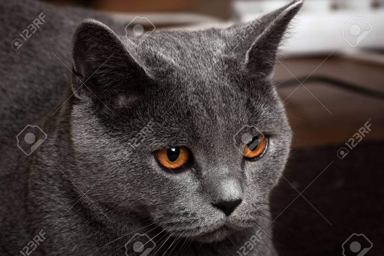 Beautiful Domestic Gray Blue British Short Hair Cat With Yellow