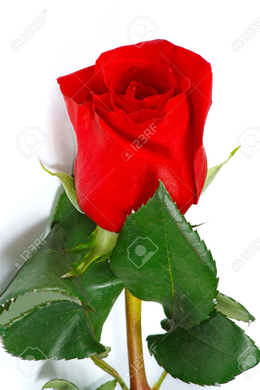 The fresh beautiful red rose from garden stock photo picture and stock photo the fresh beautiful red rose from garden izmirmasajfo Choice Image