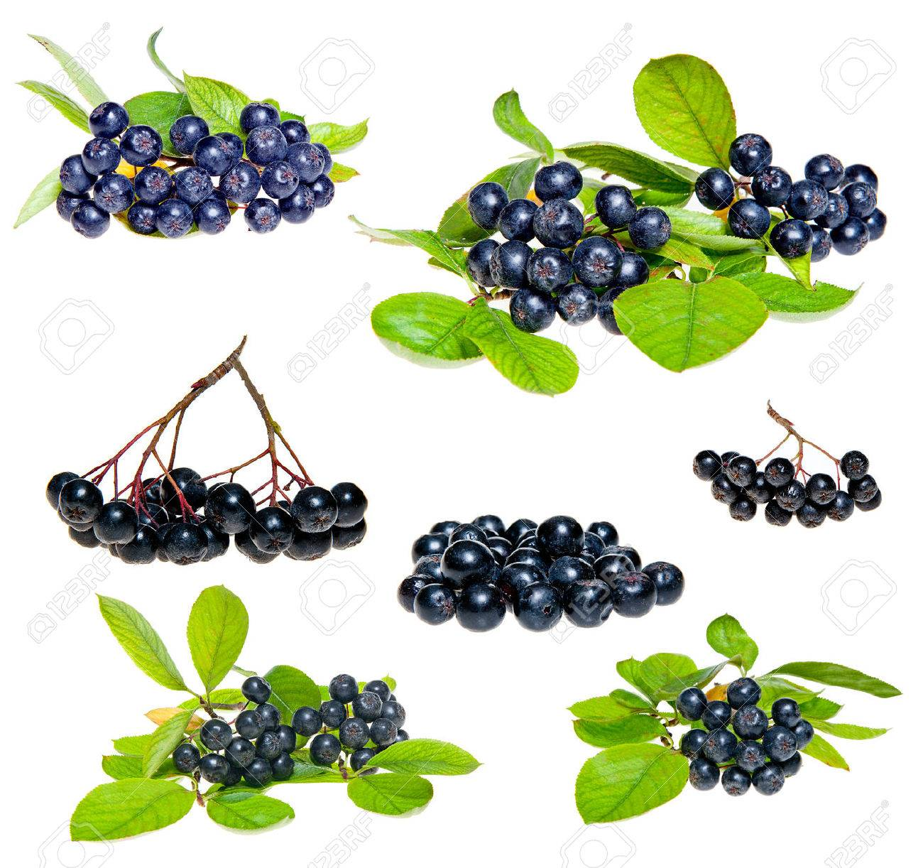 Isolated Aronia - Black Choke berry fruits Separated pile of fruit, twig with leaves, and bunch - 22257400