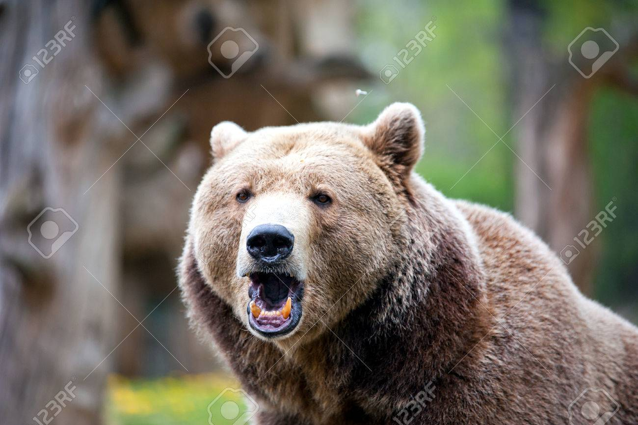 roaring brown bear in forest at summer time - 41966975
