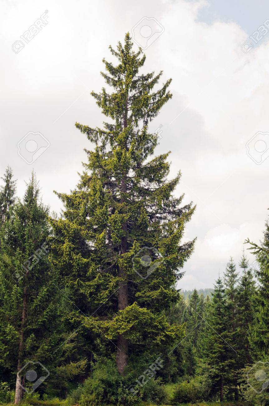 Golden Norway Spruce Picea Abies Aurea Shot In Natural Environment