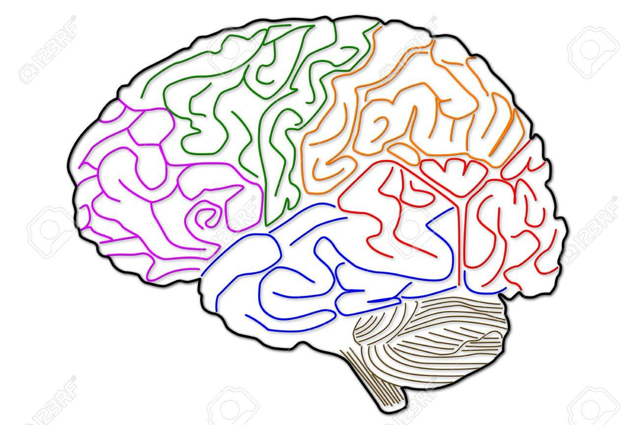 The human brain: the structure