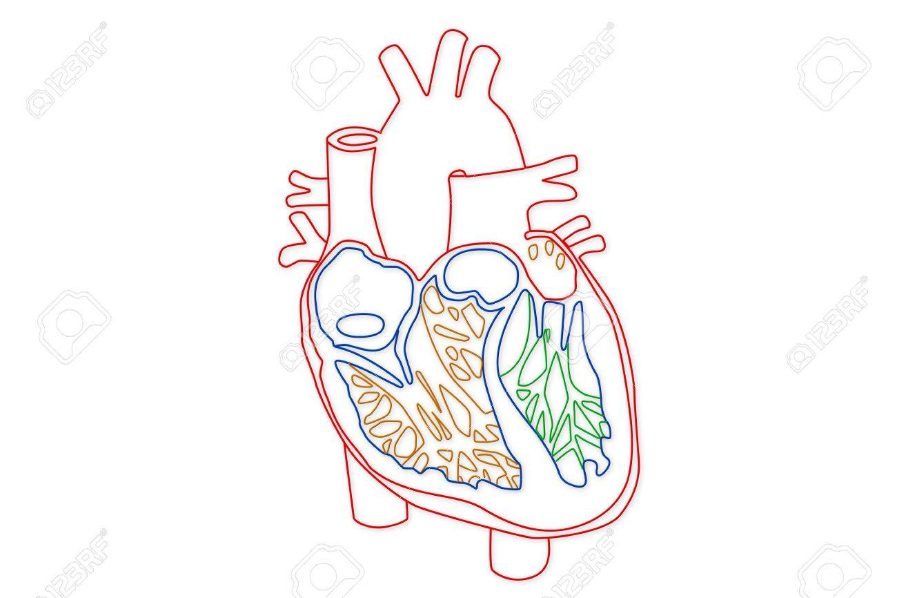 Human heart structure stock photo picture and royalty free image human heart structure stock photo 15946262 ccuart Image collections