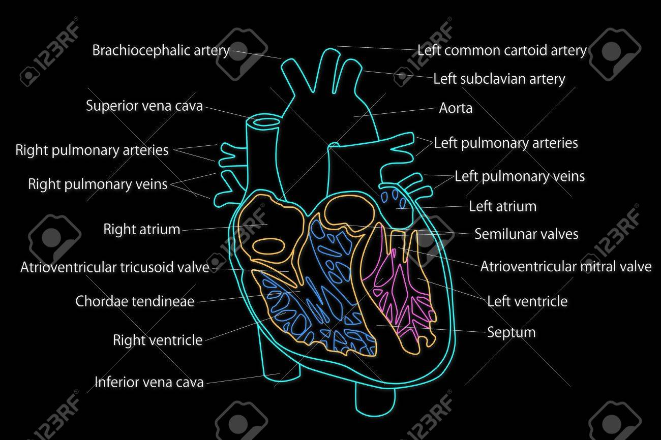 Human heart structure stock photo picture and royalty free image human heart structure stock photo 15946319 ccuart Image collections