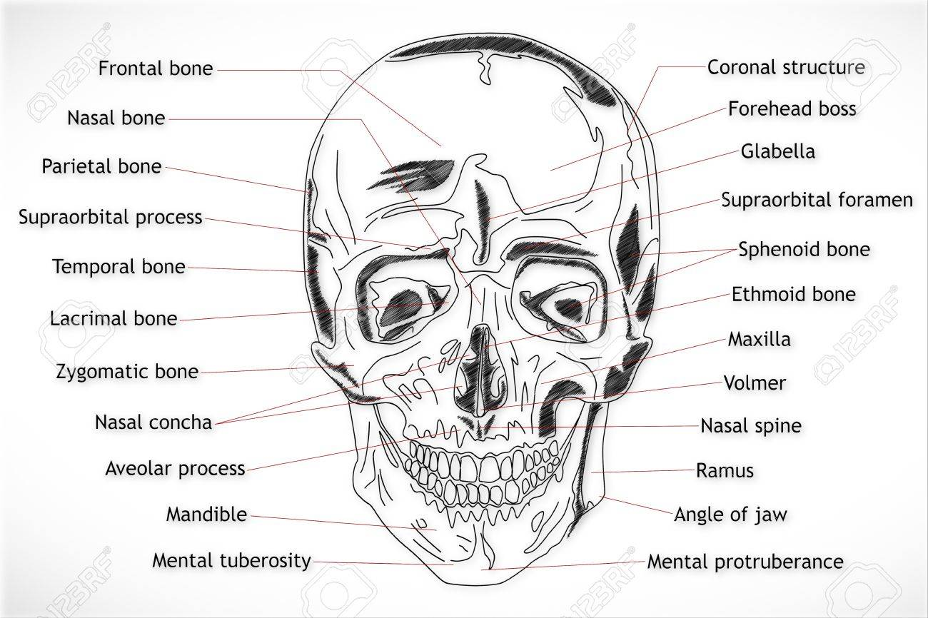 Human Skull Structure Stock Photo Picture And Royalty Free Image