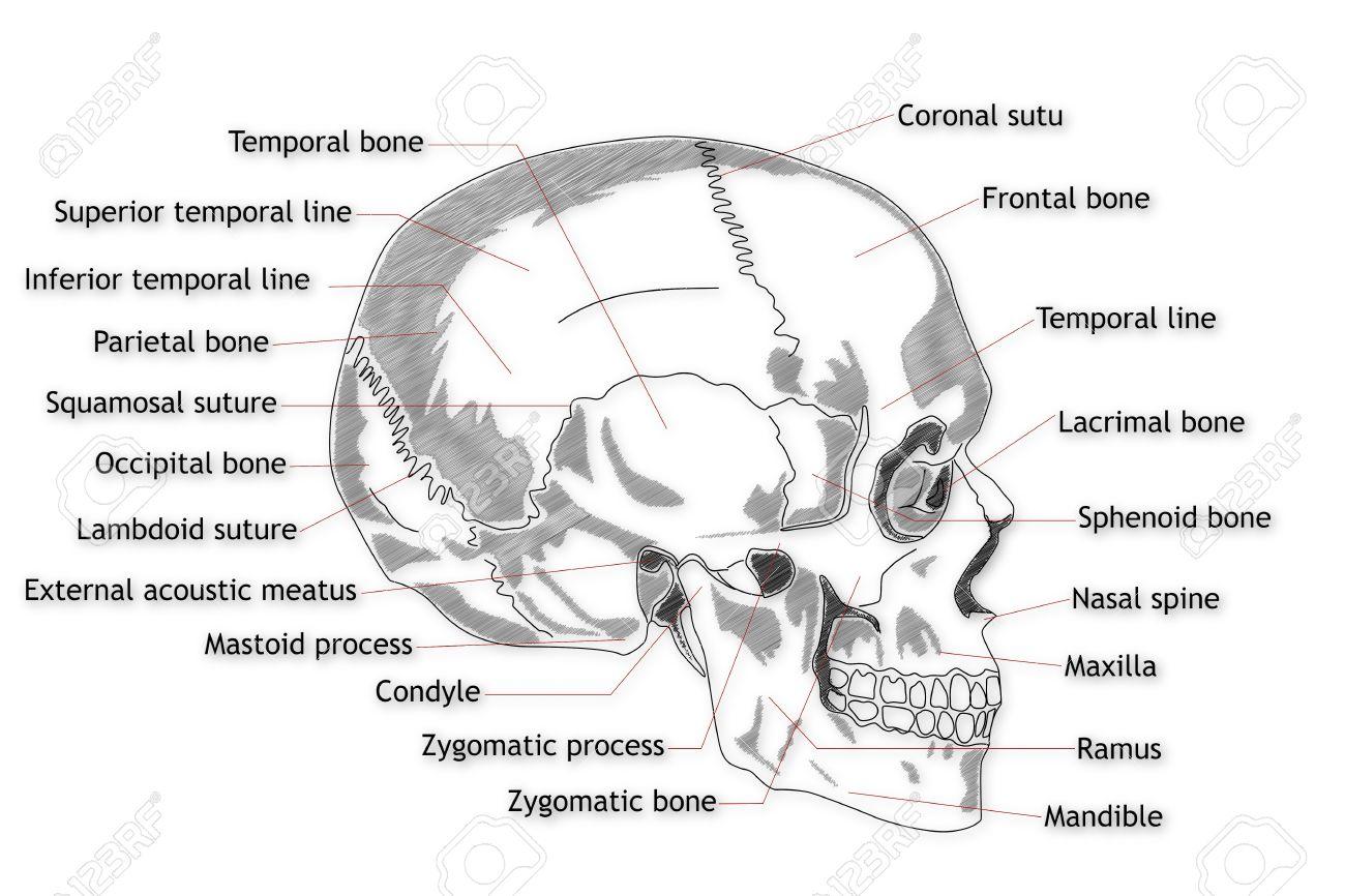 Menschlicher Schädel-Struktur Lizenzfreie Fotos, Bilder Und Stock ...
