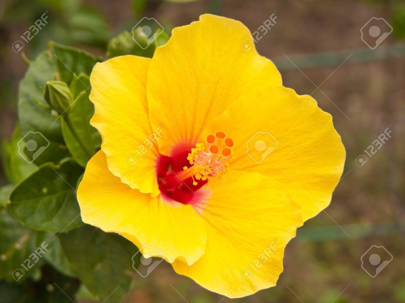 Elegant Yellow Hibiscus Flower Bloom In The Garden Stock Photo