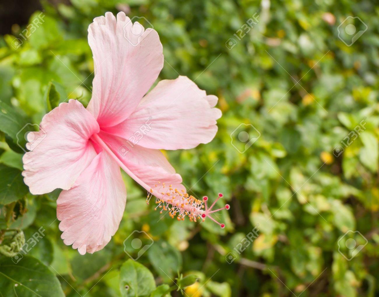 Rosa Hibiskus Blüte Im Garten Lizenzfreie Fotos Bilder Und Stock