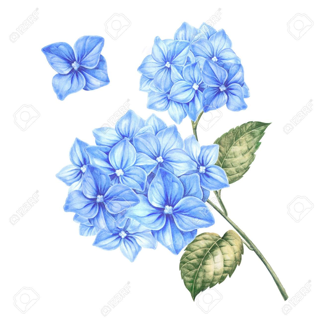 Blossom Hydrangea Flowers Awesome Blue Floral Heads Design