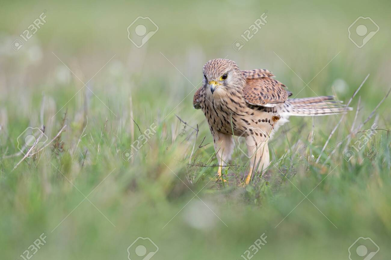 A common kestrel viewed from a low angle resting in the grass in Germany. - 135403492