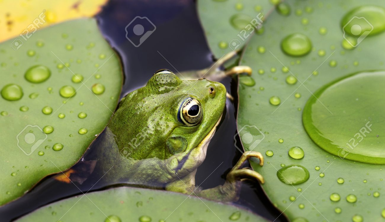 Frog On Lily Pad A Macro Background Stock Photo Picture And Royalty Free Image Image 20734238