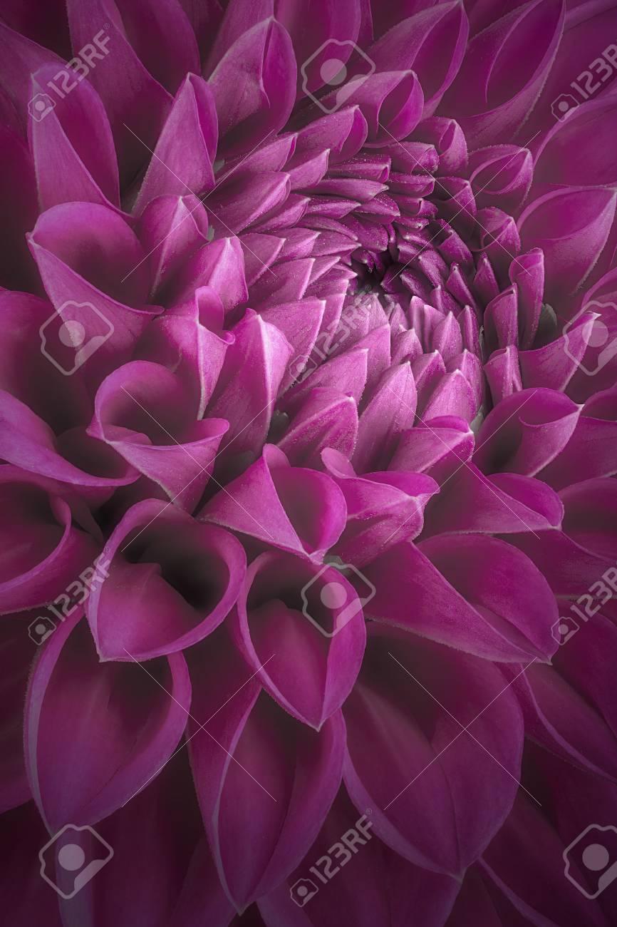 Purple Flower Petals Close Up And Macro Of Chrysanthemum Beautiful