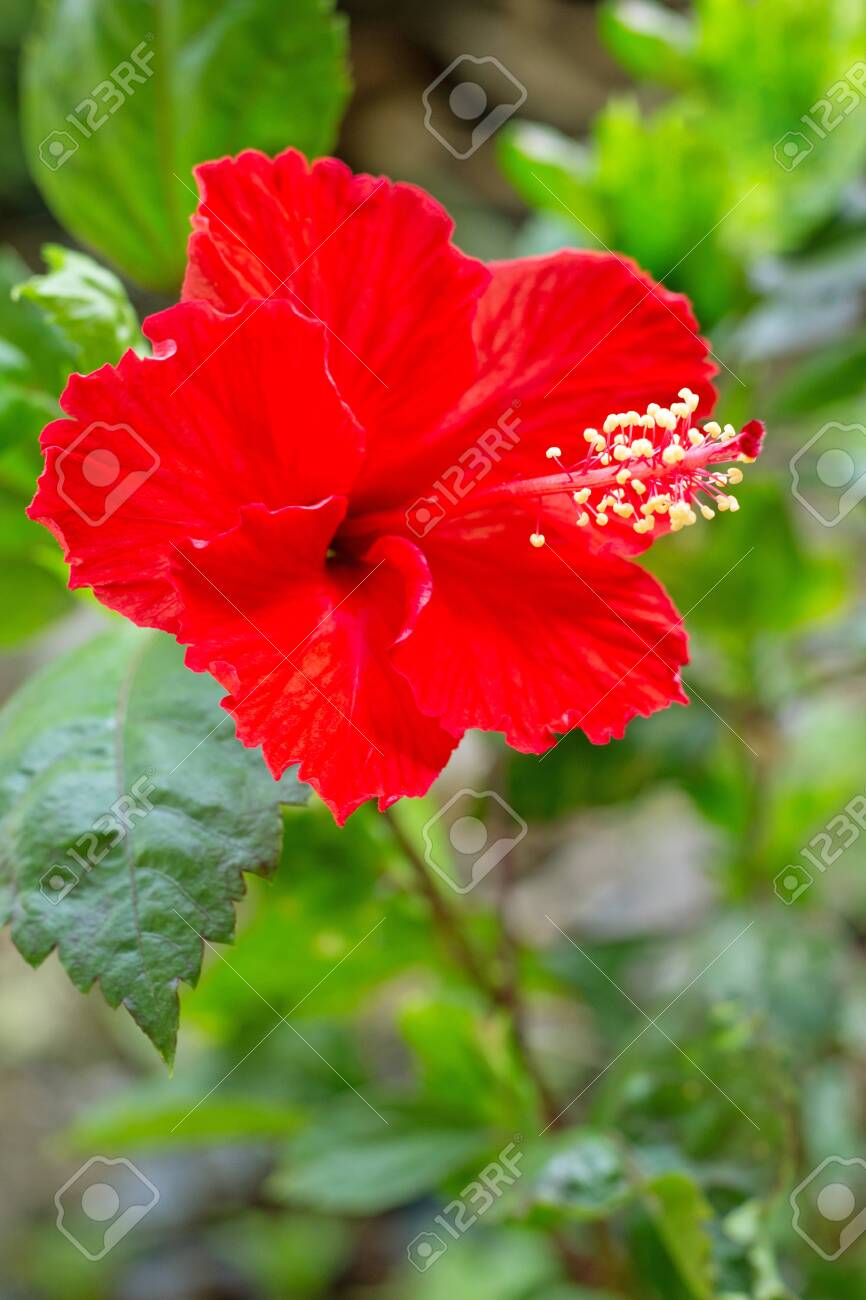Beautiful Red Hibiscus Flower In Full Bloom Stock Photo Picture And Royalty Free Image Image 128322449