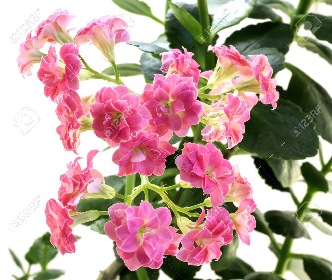 Pink flowers of kalanchoe plant with green leaves isolated on pink flowers of kalanchoe plant with green leaves isolated on white stock photo 41593361 mightylinksfo
