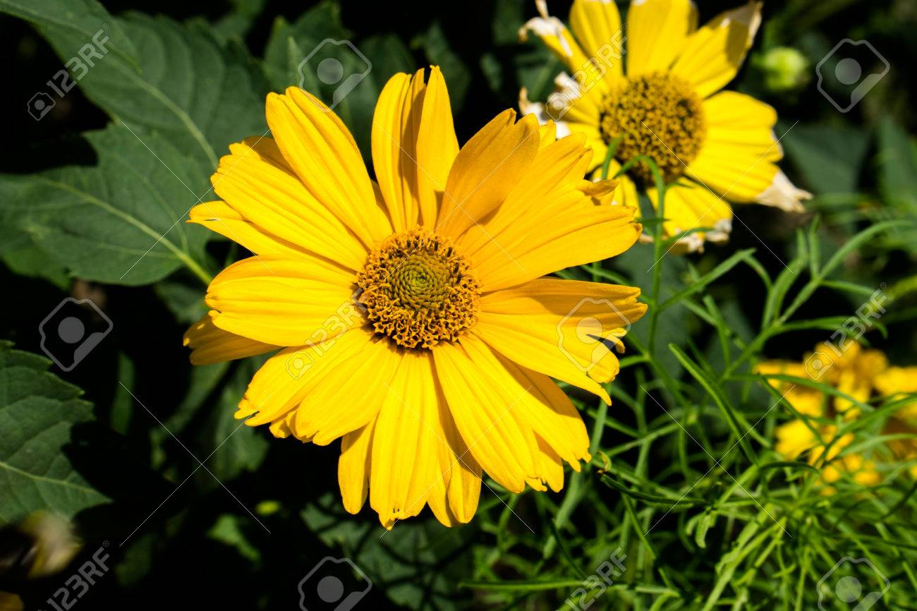 Yellow Flowers Perennial Asters In The Garden Stock Photo Picture