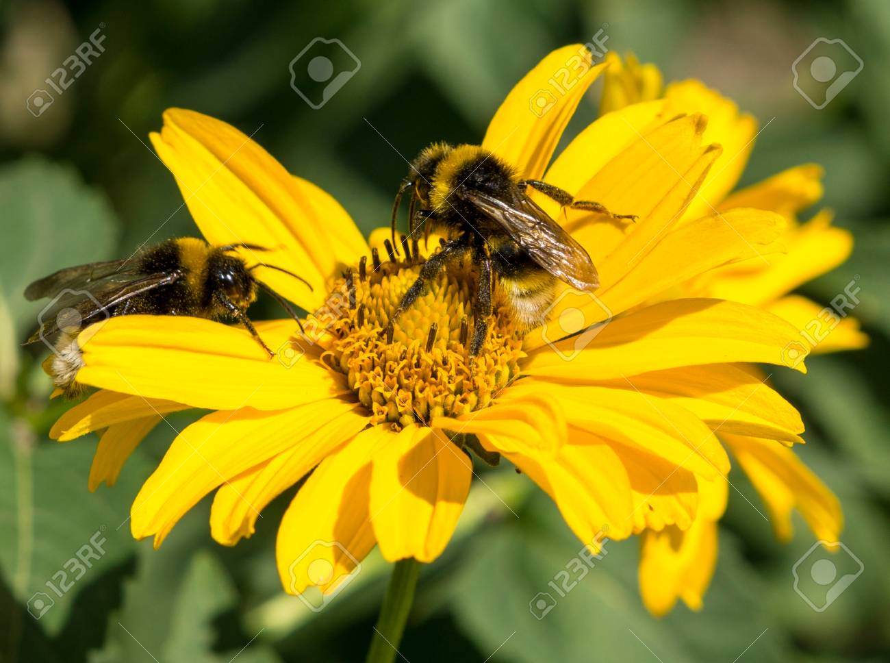 Two bees collects pollen from yellow flowers perennial aster stock stock photo two bees collects pollen from yellow flowers perennial aster in the garden mightylinksfo