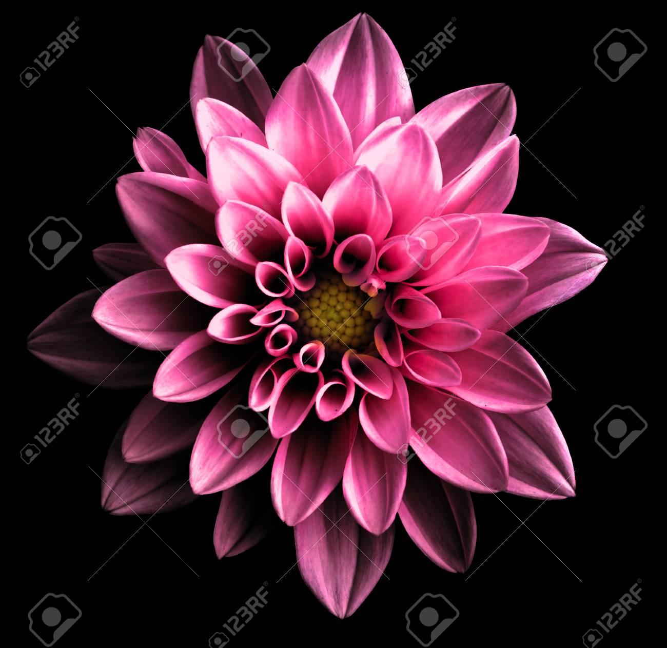 Macro Dahlia De Fleur Rose Fonce Chrome Surrealiste Isole Sur Fond Noir