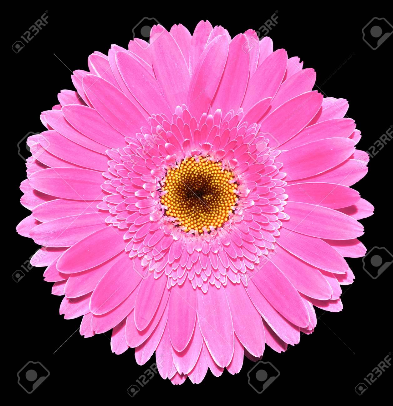 Fleur Gerbera Rose Photographie Macro Isole Sur Noir Banque D Images