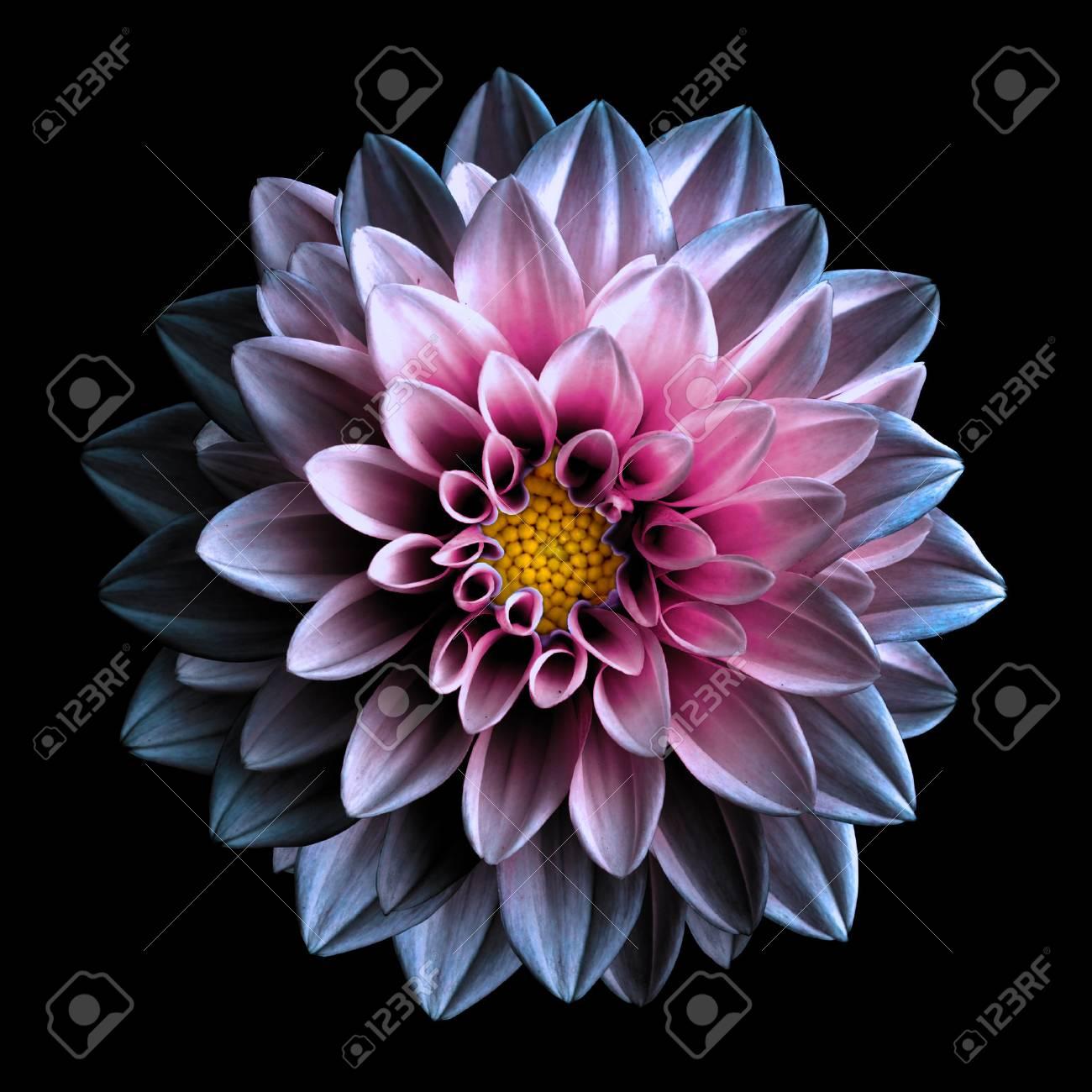 Macro De Dahlia Fleur Rose Fonce Et Violet Surrealiste Isole Sur Fond Noir
