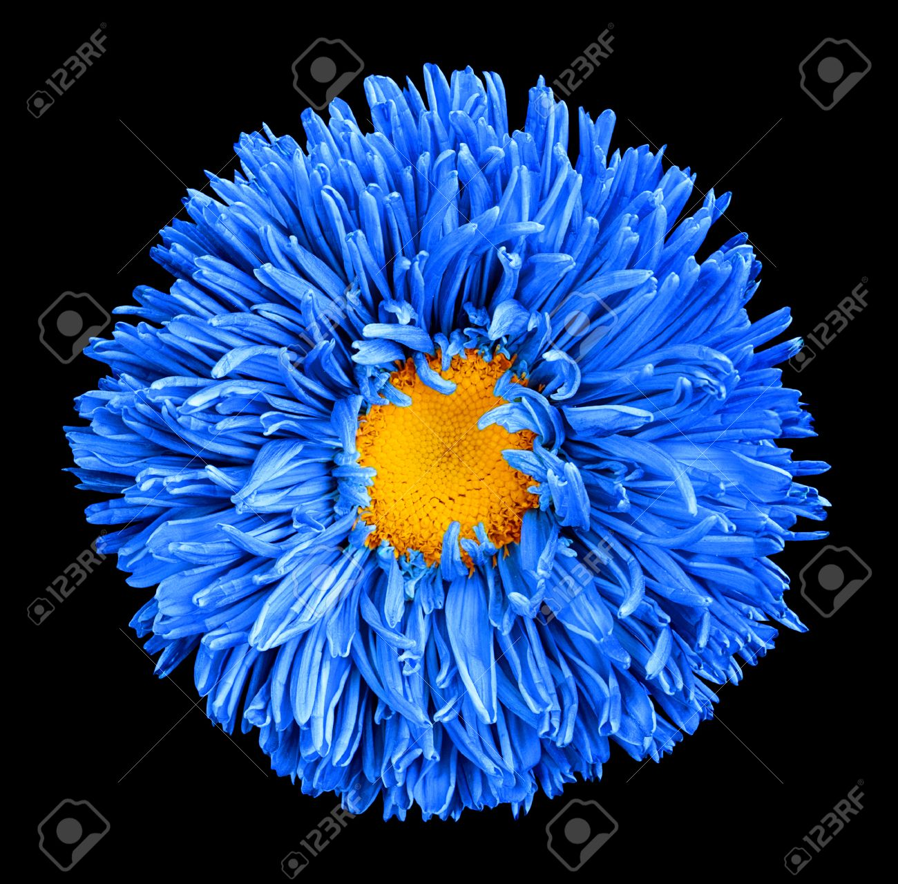 Blue Aster Flower With Yellow Heart Macro Photography Isolated