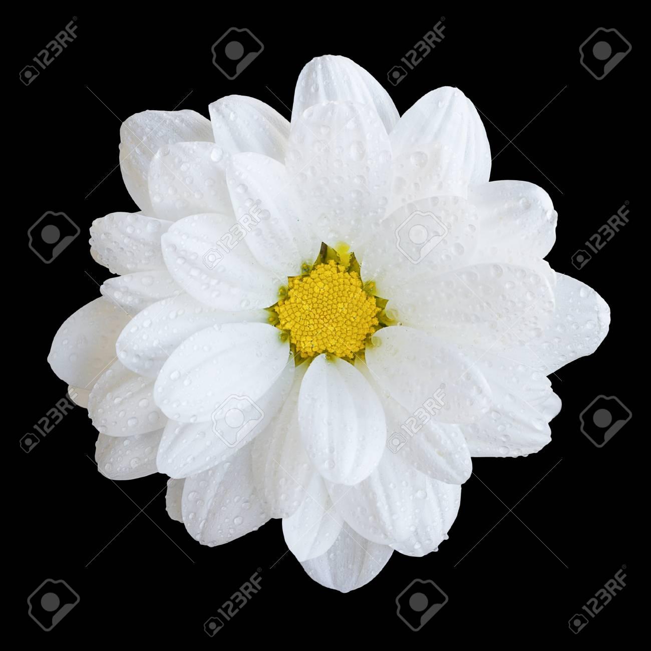 Natural Tender White Gerbera Flower Macro Isolated On Black Stock