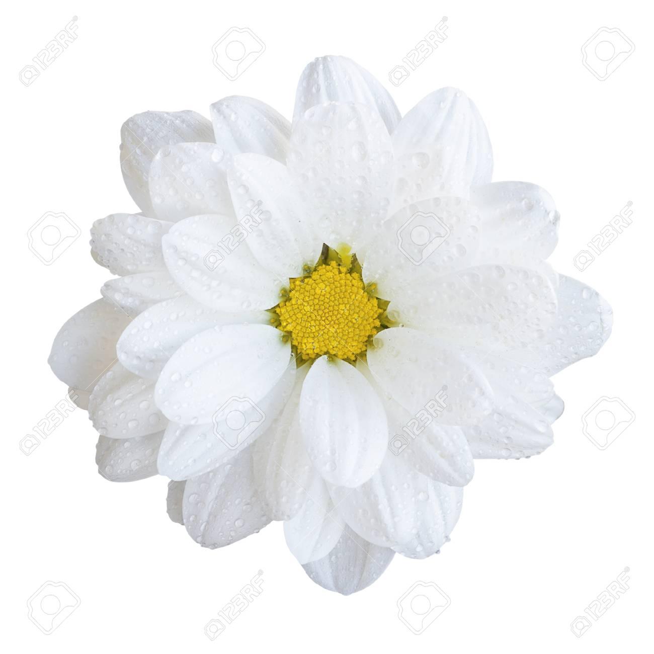 Natural Tender White Gerbera Flower Macro Isolated On White Stock