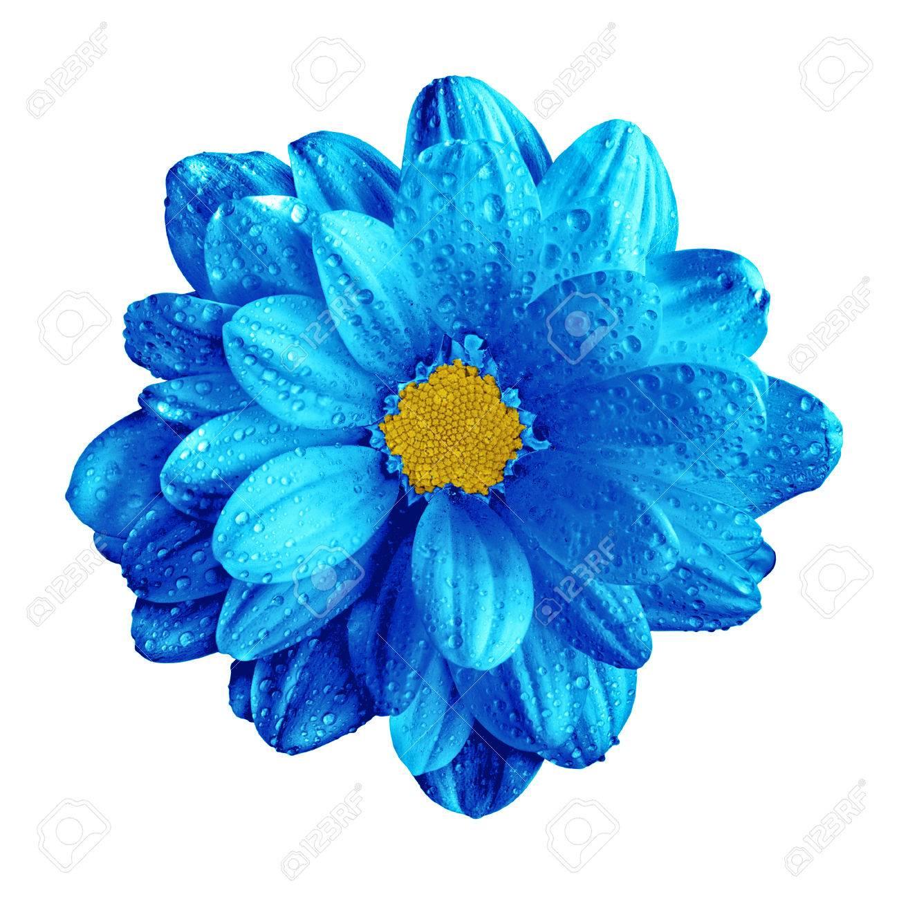 Macro De Fleur De Gerbera Bleu Fonce Chrome Surrealiste Isole Sur