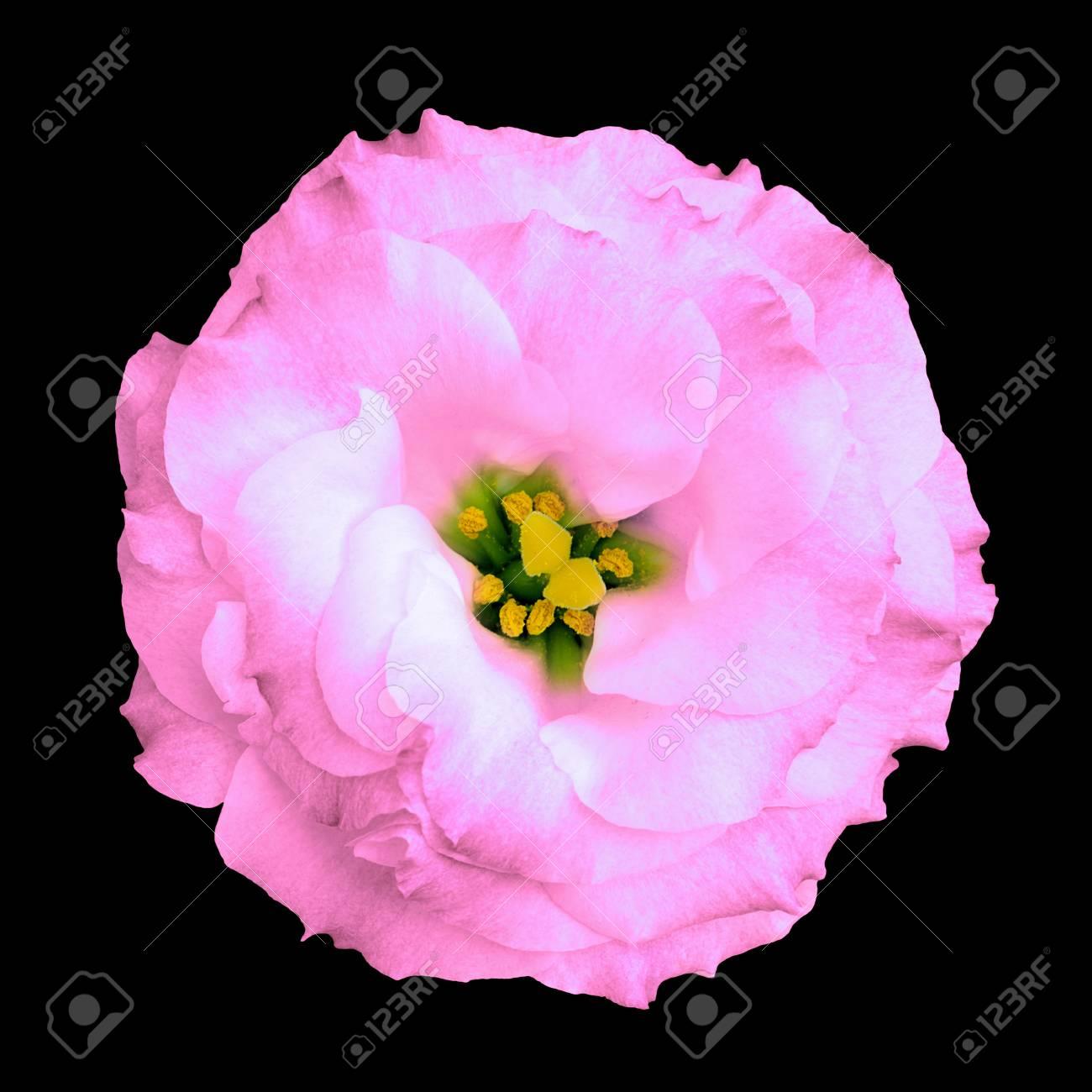 Rose Rose Naturelle Fleur Isole Sur Le Noir Banque D Images Et
