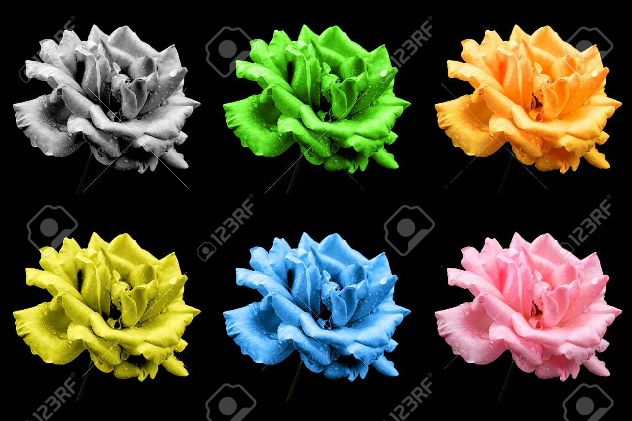 Pack Of Colored Natural Rose Flowers Isolated On Black Stock Photo Picture And Royalty Free Image Image 75978951
