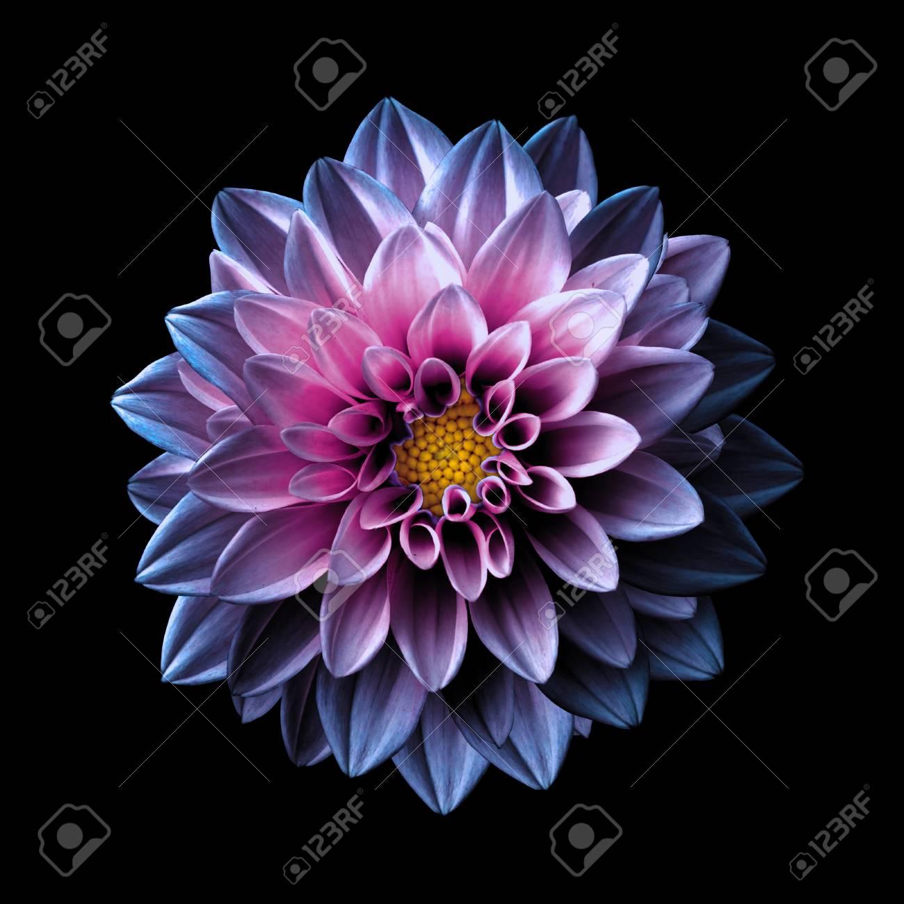 Surreal Dark Chrome Pink And Purple Flower Dahlia Macro Isolated