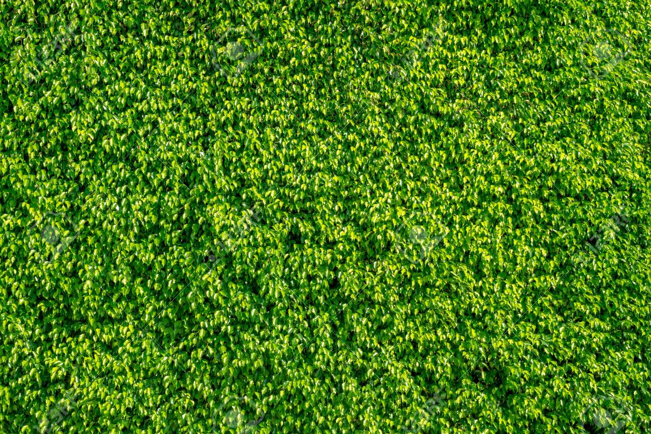 Texture of green leaves natural wall  Grass wall for backdrop