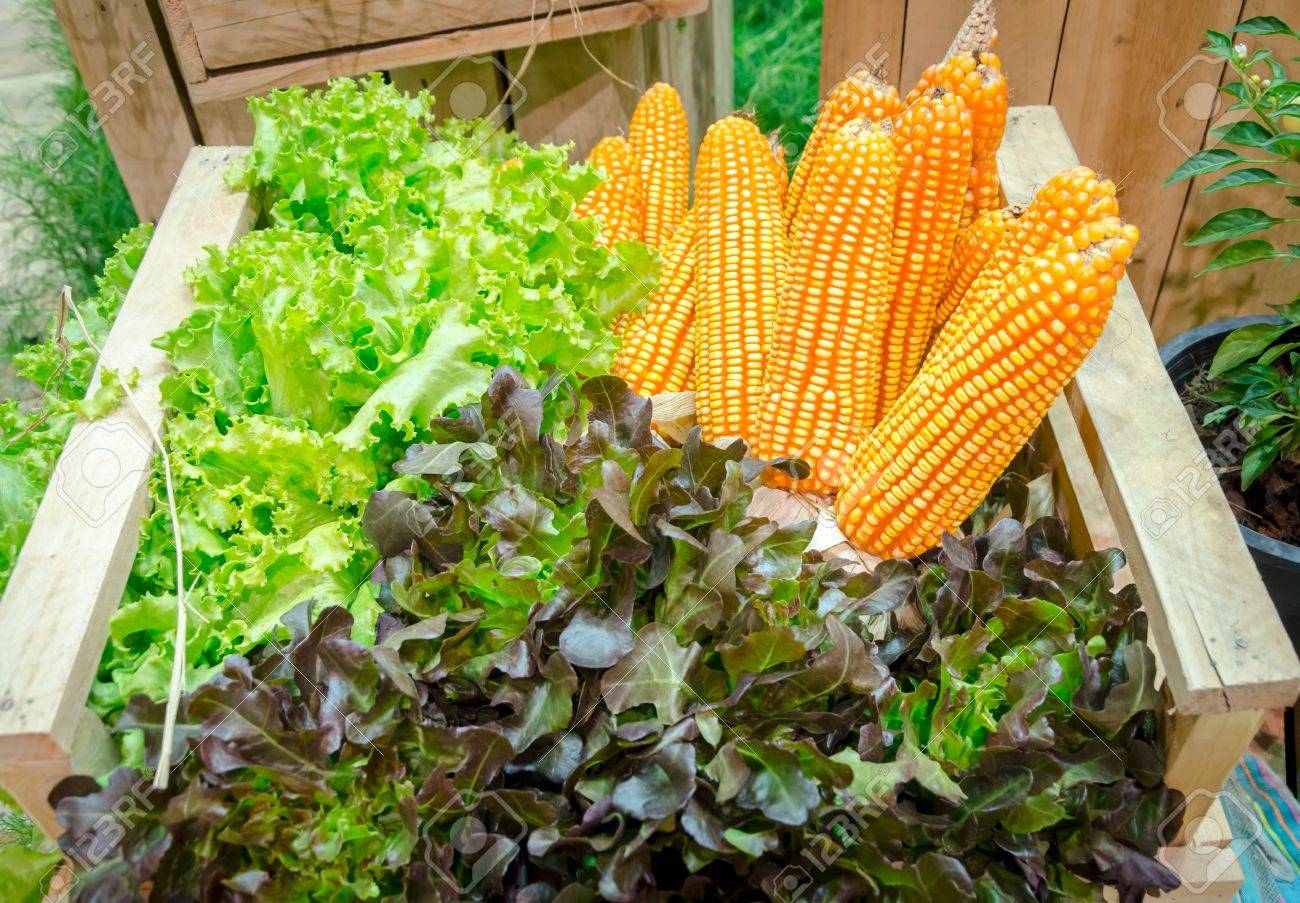 fresh corn and vegetables in the garden Stock Photo - 16138255