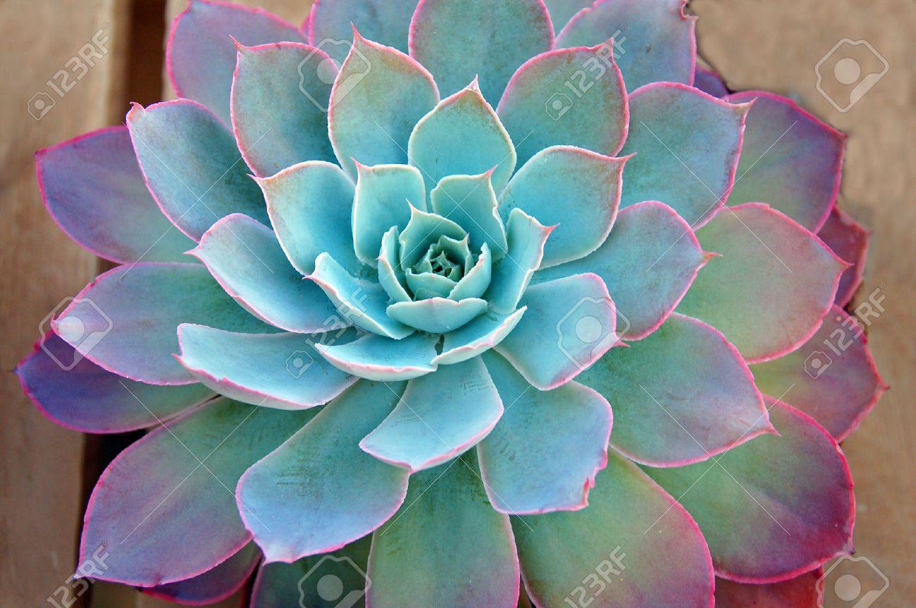Succulent Plant Showing Colors Stock Photo   1694791