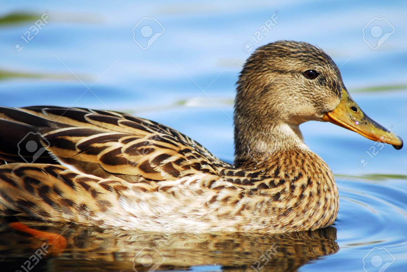 An Isolated brown Mallard Duck Swimming in water Stock Photo - 3354368