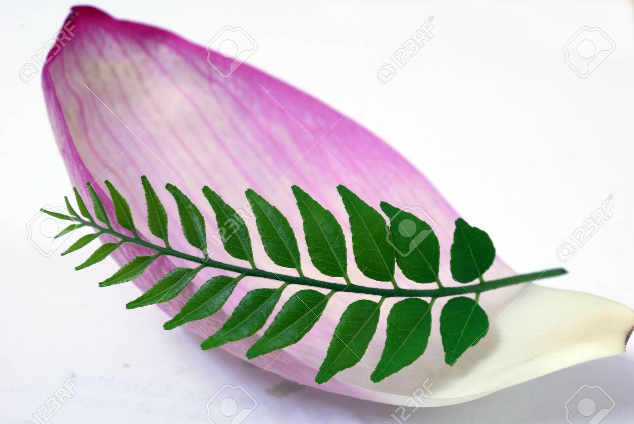 An abstract shot of Pink Lotus Petal and Green CUrry Leaf Stock Photo - 3592707
