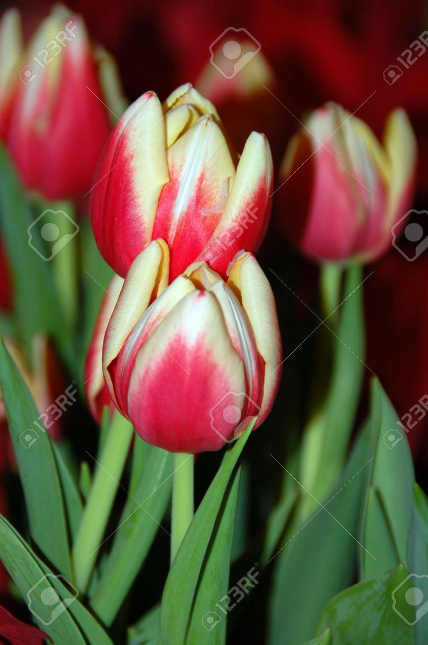 Red Tulip Flower in Bloom Stock Photo - 3730976