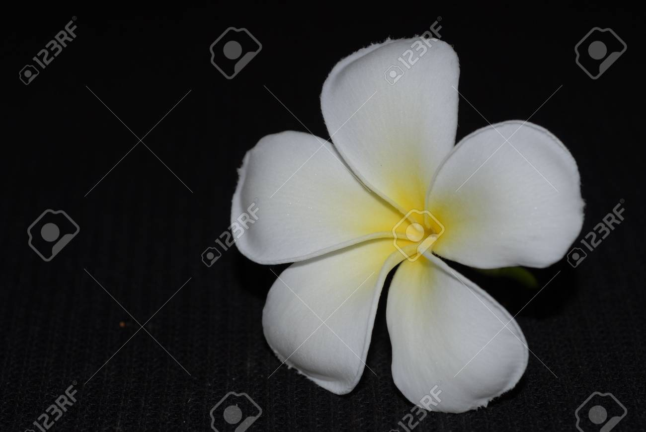 Fleur De Frangipanier En Blanc Et Jaune Couleur Banque D Images Et