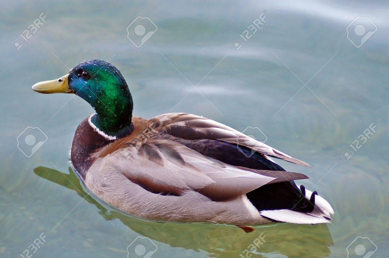 isolated shot of mallard drake duck swimming stock photo picture