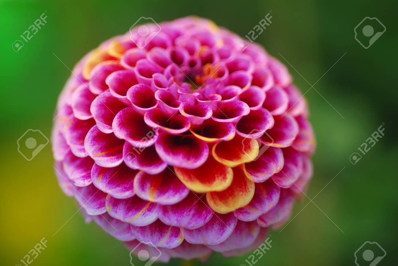 Isolated Shot Of Pink Pompom Dahila Flower Stock Photo Picture And