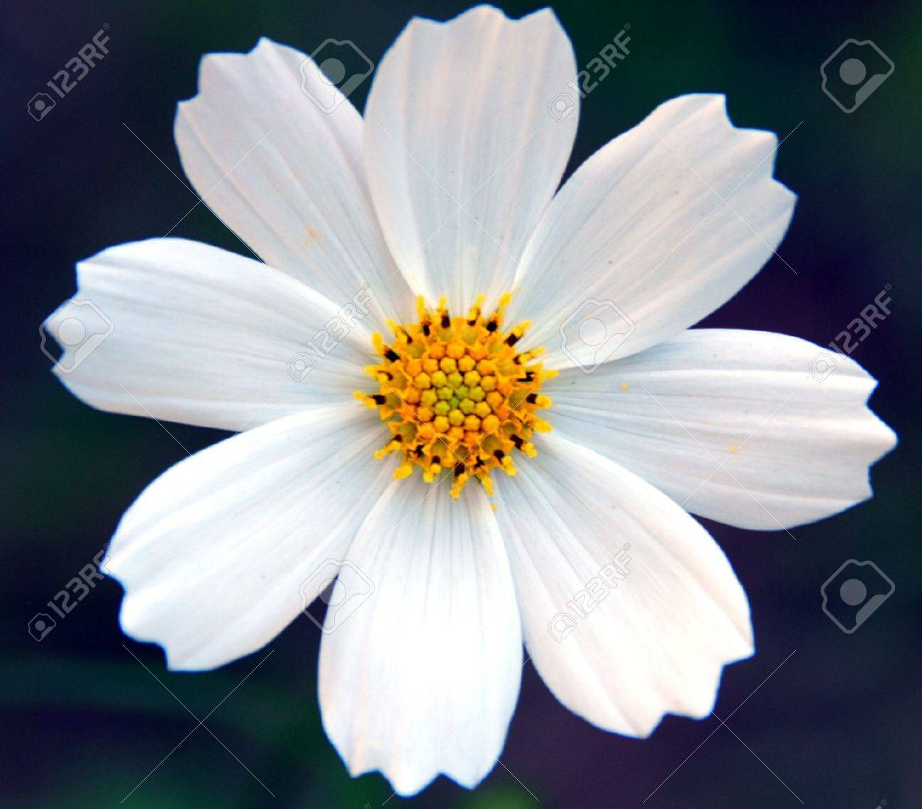 An Isolated Shot Of White Cosmos Flower Stock Photo Picture And